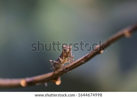 The European mantis (Mantis religiosa) is a large hemimetabolic insect Their common name is praying mantis. close up of female mantis insect resting on tree branch #1644674998