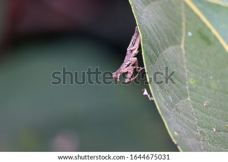 Insect Mantis in the wild. Female European Praying Mantis, Mantis Religiosa, brown mantis. male insect on the green leaf of berry #1644675031