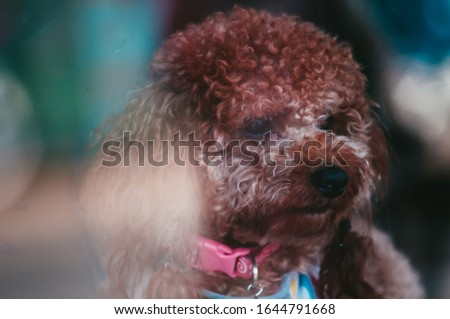 Close up portrait picture of a small, cute and beautiful brown purebred Poodle Puppy looking at the camera. Picture taken with burred out of focus background and colorful bokeh