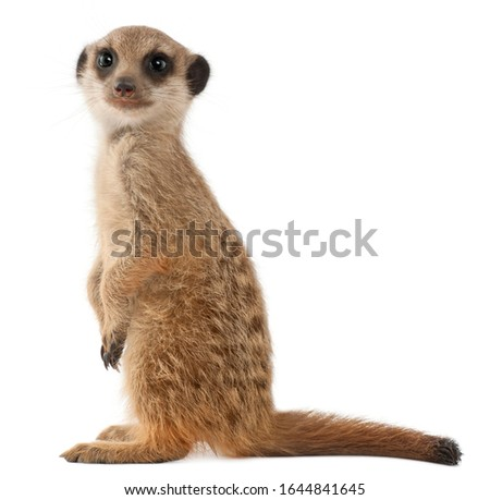 Meerkat or Suricate, Suricata suricatta, in front of white background