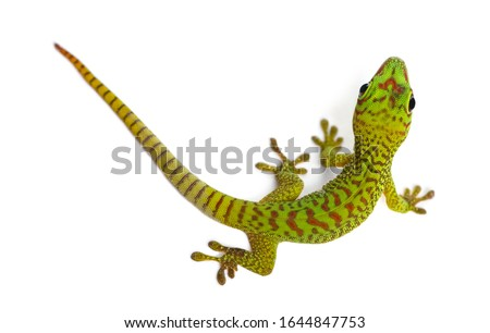 Madagascar giant day gecko view from up high, Phelsuma madagascariensis grandis, isolated on white Royalty-Free Stock Photo #1644847753