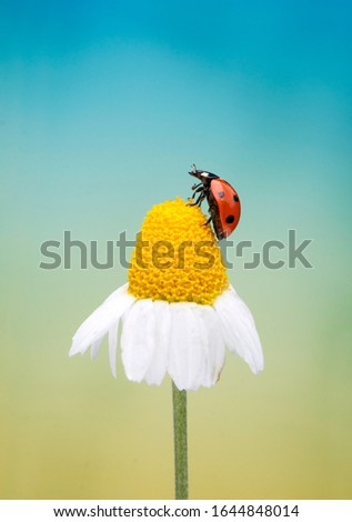 Ladybug sitting on a daisy flower in a spring day. Macro picture with beautiful background.