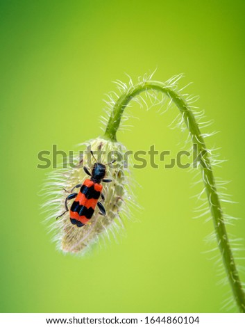 beetle sitting on wild poppy flower in spring day. Macro picture with beautiful background.