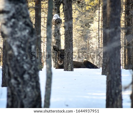 Scenic picture of a moose resting in the snow, a cold but sunny spring day in north Sweden