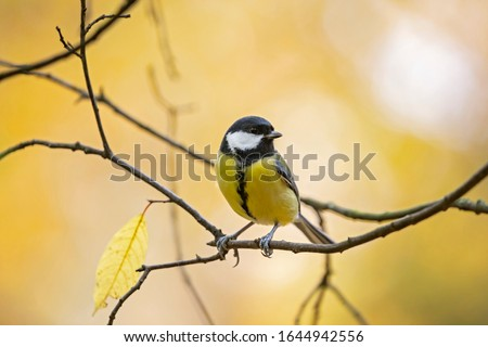 great tit (Parus major) in the autumn entourage. The great tit (Parus major) is a passerine bird in the tit family Paridae.  #1644942556