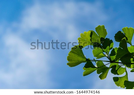 Bright green leaves on branch of ginkgo tree (Ginkgo biloba), known as ginkgo or ginkgo against blue sky with white clouds. Selective focus. Close-up. Calmness and relaxation. There is place for text. #1644974146