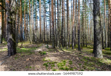 Pine tree forest trees background. Forest pines background. Pine forest view. Forest scene #1644987592