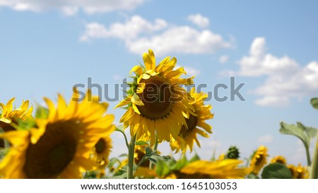 sunflower sways in the wind. Beautiful fields with sunflowers in the summer. Crop of crops ripening in the field. A field of yellow sunflower flowers against a background of clouds. #1645103053