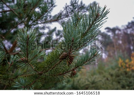 Pine cones in a pine tree #1645106518