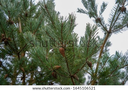 Pine cones in a pine tree #1645106521