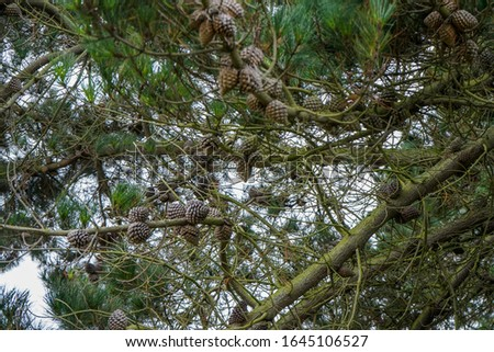 Pine cones in a pine tree #1645106527