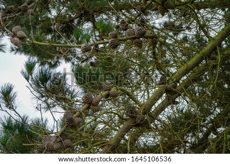 Pine cones in a pine tree #1645106536
