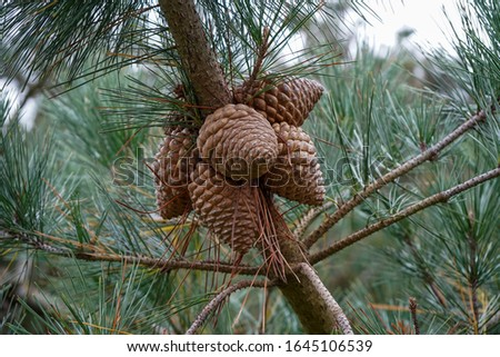 Pine cones in a pine tree #1645106539