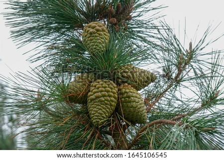 Pine cones in a pine tree #1645106545