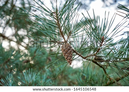 Pine cones in a pine tree #1645106548