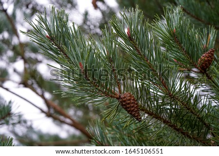 Pine cones in a pine tree #1645106551