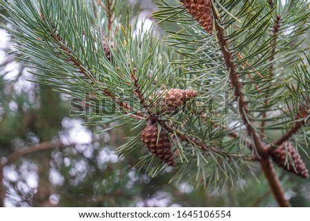 Pine cones in a pine tree #1645106554