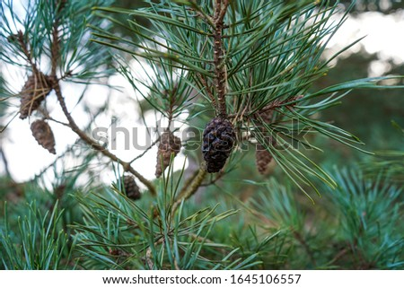 Pine cones in a pine tree #1645106557