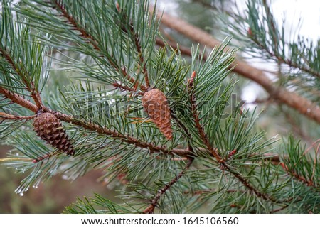 Pine cones in a pine tree #1645106560