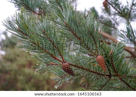 Pine cones in a pine tree #1645106563