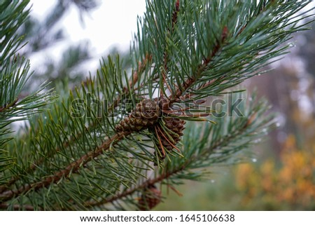 Pine cones in a pine tree #1645106638