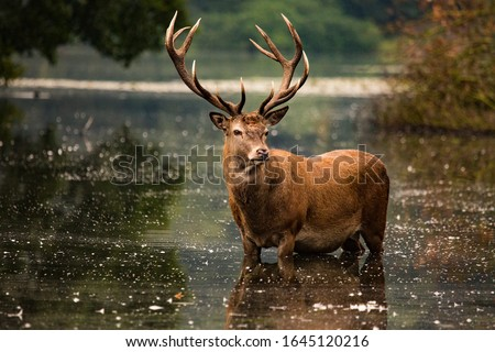 Red deer stag in lake water, Wollaton Hall and Deer Park, Nottingham, Nottinghamshire, England, United Kingdom Royalty-Free Stock Photo #1645120216