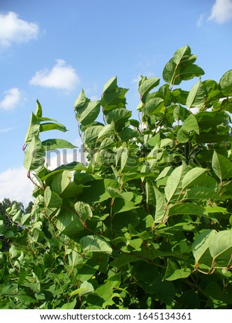 Green leaves of giant knotweed on windy weather #1645134361