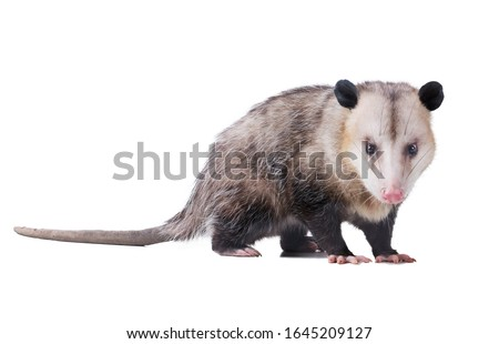 Adult male Virginia opossum (Didelphis virginiana) or common opossum looks at the viewer.  Isolated on white background
