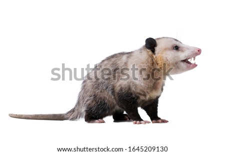Adult male Virginia opossum (Didelphis virginiana) or common opossum looks sideways and opens his mouth. The teeth are visible.  Isolated on white background