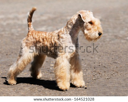 Young  Lakeland Terrier dog  standing over blurry background #164521028