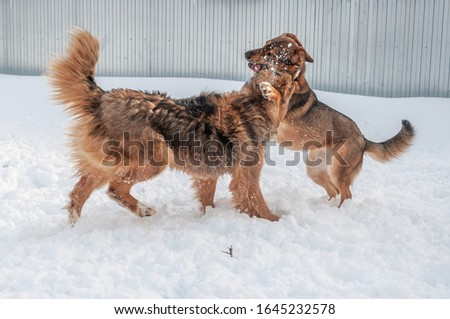 A large red dog fights another dog during the game and bites its neck in a snow covered area