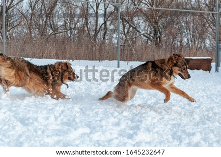 A large red dog quickly pursues another in the course of the game on the territory covered with loose snow