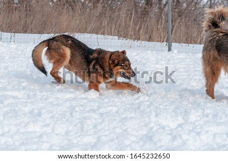 On the loose snow, a beautiful red dog tries to provoke another dog to participate in the game, but it goes beyond the frame