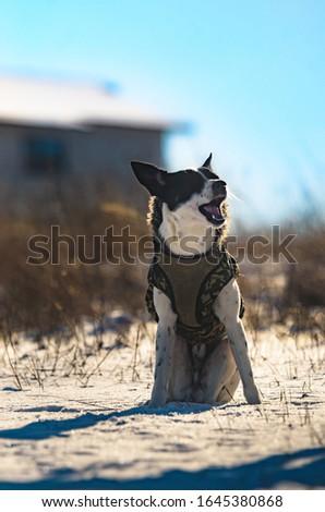 Basenji dog eats food and makes funny facial expressions, meme photo