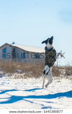 Basenji dog performs a jump command, photo in motion, winter and snow, studies