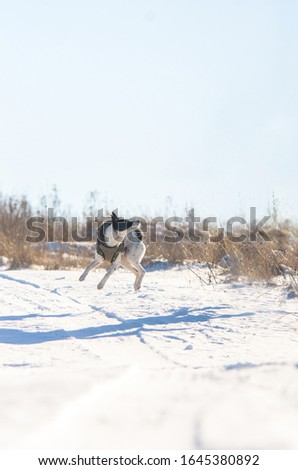 Basenji dog in the snow performs a jump command, photo is in the air