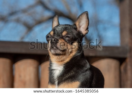 Pet dog Chihuahua walks on the street. Chihuahua dog for a walk. Chihuahua black, brown and white. Cute puppy early in the morning on a walk. Mini breed Chihuahua Smooth Shorthair