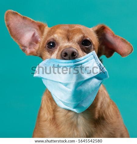 dog face in medical mask closeup, concept virus, coronavirus, protection