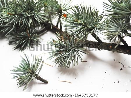 Cedrus atlantica- Atlas Cedar- needles -Botanical photography of woody plants #1645733179