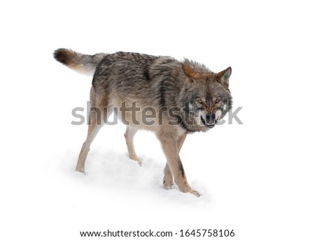 gray wolf with a grin is isolated on a white background. #1645758106