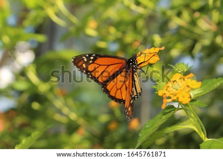 "Orange, black and white ""Monarch Butterfly"" in Innsbruck, Austria. Its scientific name is Danaus Plexippus, native to North, Central and South America."