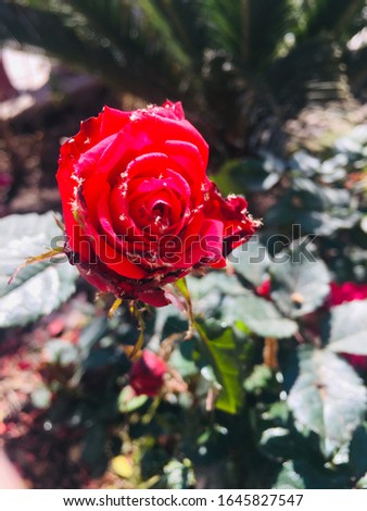 Roses are beautiful flower on the earth.do you think that the whole pic