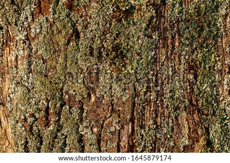 Tree bark. Moss on the bark of a tree. The texture of the tree bark. The material is bark #1645879174