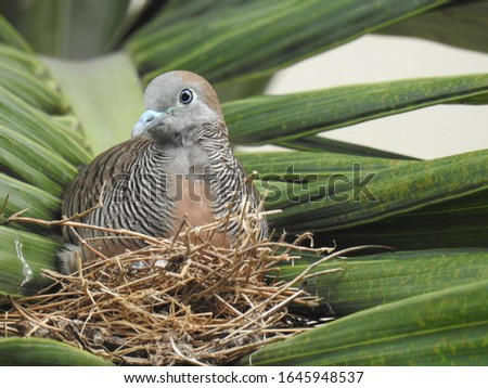 Zebra Dove on alert on its nest