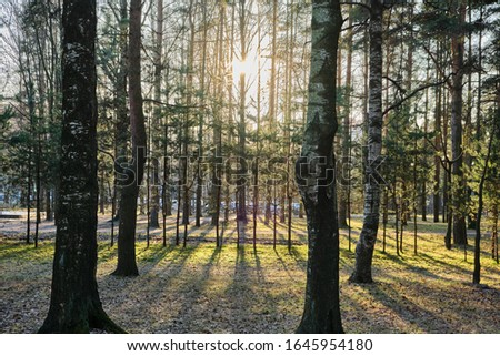 Beautiful pine forest pine park with pines, firs and birches in a sunny day with hard shadows and sunlight, lots of green trees, backlight, sun through the trees with highlights #1645954180