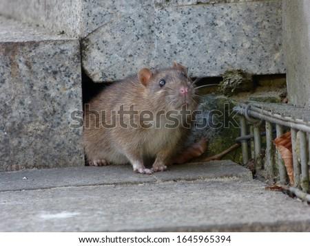 Watchful brown rat (Rattus norvegicus) #1645965394