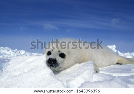 Harp Seal, pagophilus groenlandicus, Pup standing on Icefield, Magdalena Island in Canada   Royalty-Free Stock Photo #1645996396