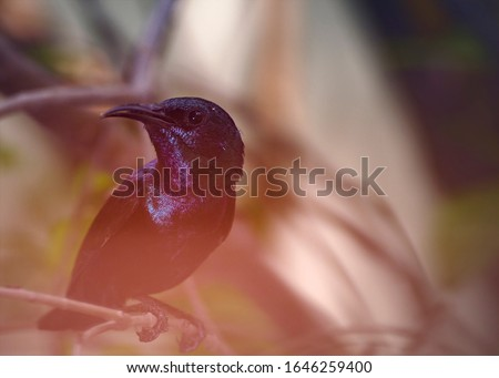 Purple Sunbird Male Picture captured in Abdul Hakim, Punjab, Pk #1646259400