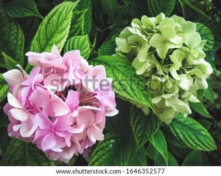Hydrangea macrophylla is a beautiful bush of pink and white hydrangea macrophylla flowers that bloom in the garden in summer. Close-up, soft focus, added noise. Beautiful flowers. Beauty in nature
