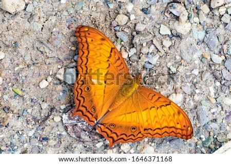Vindula erota, the common cruiser, is a species of nymphalid butterfly found in forested areas of tropical South Asia and Southeast Asia. #1646371168